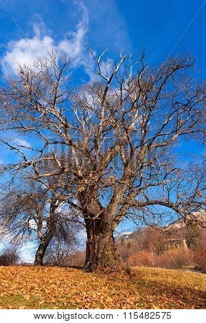 Chestnut Trees In Winter