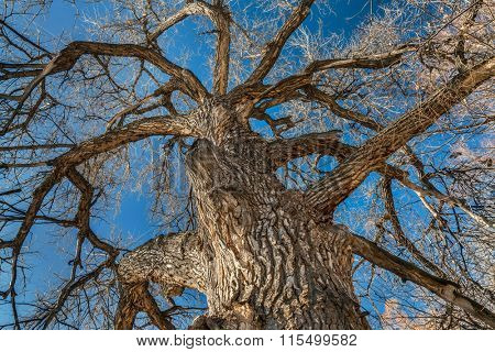 Giant cottonwood tree with without leaves native to Colorado Plains, also the State tree of Wyoming, Nebraska, and Kansas - looking up