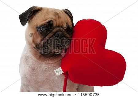 Lonely cute Pug isolated with heart on white background.
