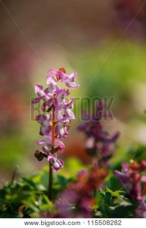 Flowers Corydalis