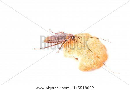 Cockroach Eating A Cookies On White Background