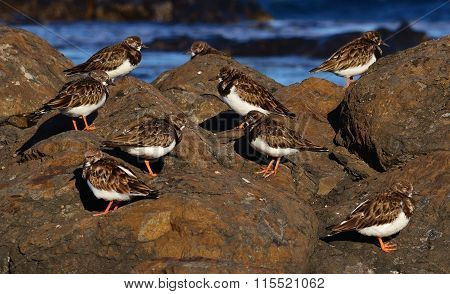 Group of turnstone birds