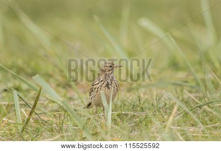 Meadow pipit, Anthus pratensis, on the grass