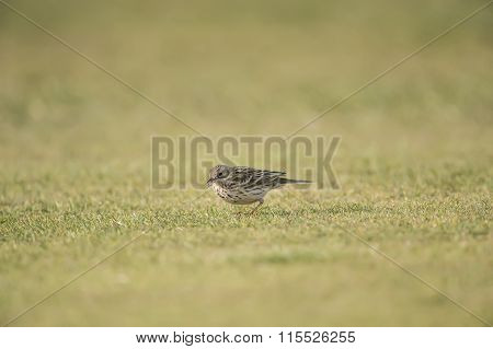Meadow, Anthus, pratensis, pipit on the grass