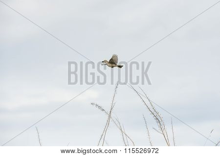 Meadow pipit flying with bugs in its beak