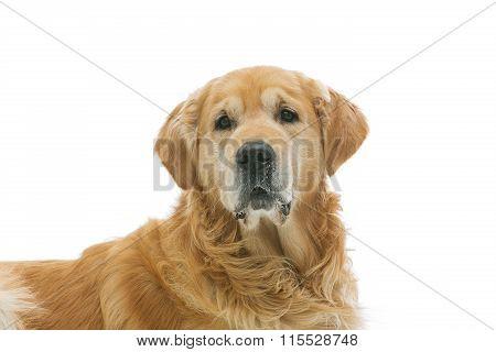 Old beautiul golden retriever dog