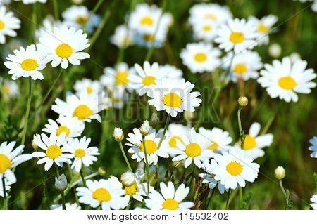 White Chamomile flowers in the green field