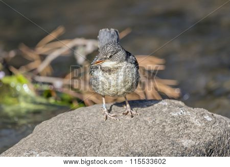 Dipper juvenile perched on a rock in a stream