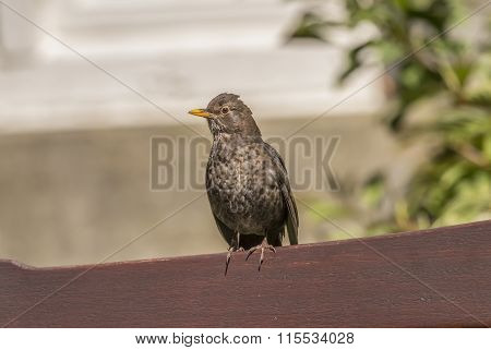 Blackbird Turdus merula female perched on the back of a bench