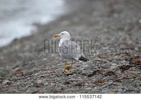Herring Gull On The Beach