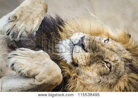 Lion having a nap In Kruger National Park