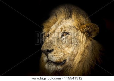 Lion in the night In Kruger National Park