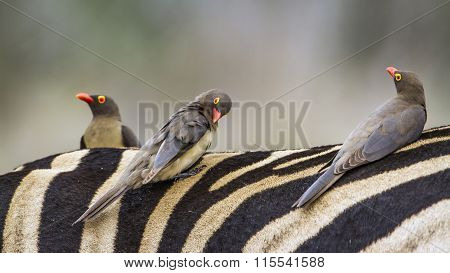 Red-billed Buffalo-weaver In Kruger National Park
