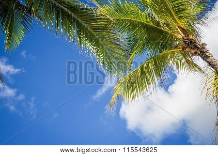Green Coconut Palm Trees On Dark Blue Sky With White Clouds. Photo From Playa Del Carmen, Yucatan, M