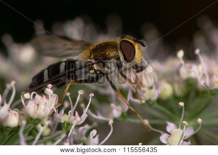 Leucozona glaucia hoverfly on hogweed flower