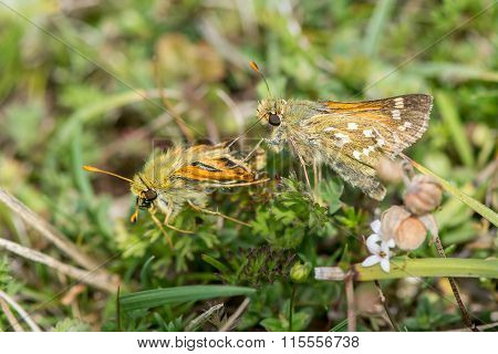 Silver-spotted skipper (Hesperia comma) pair territorial dispute