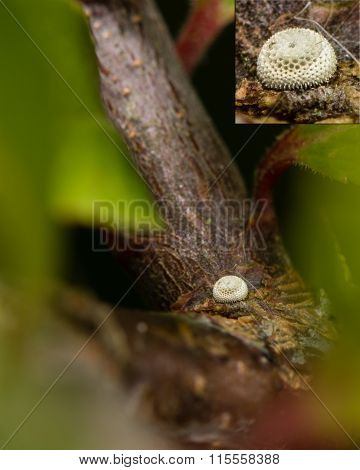 Brown hairstreak (Thecla betulae) egg