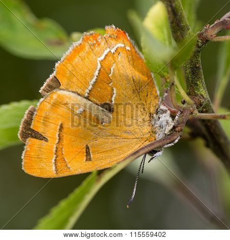 Brown hairstreak (Thecla betulae) on blackthorn