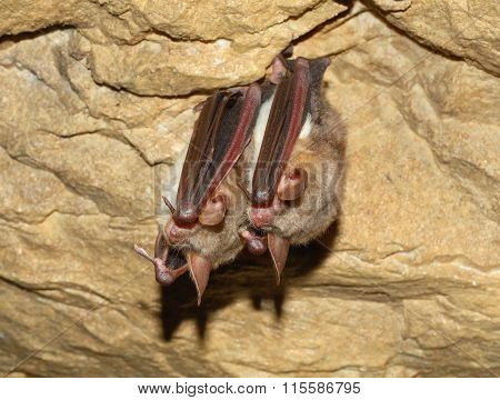 Greater mouse-eared bat ( Myotis myotis) in cave poster