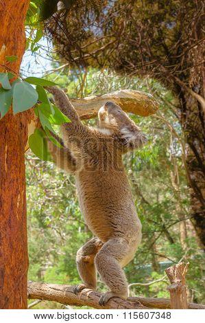 Koala standing on a branch
