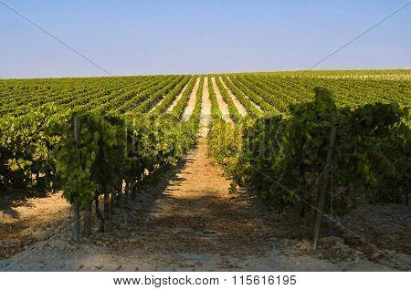Rural landscape of green Vineyard and blue sky