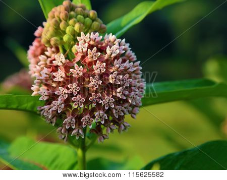 Inflorescence Of Wild Onion