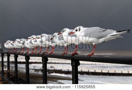 Black Head Gulls in strong wind.