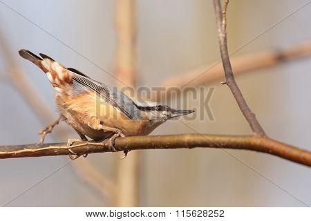 Nuthatch (Sitta europaea) on a twig.