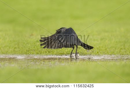Jackdaw Corvus monedula flying from a puddle of water