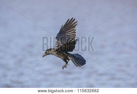 Crow Corvus corone flying over a lake