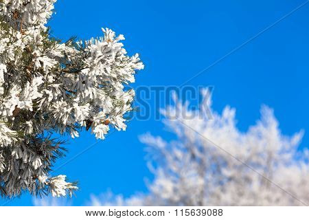 Twigs Full of Snow