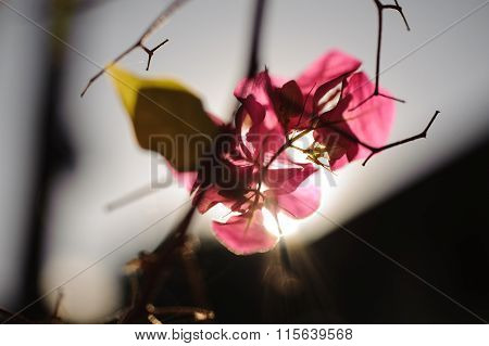 Pastel Fragrant Pink Bougainvillea Flower With Blurred Background