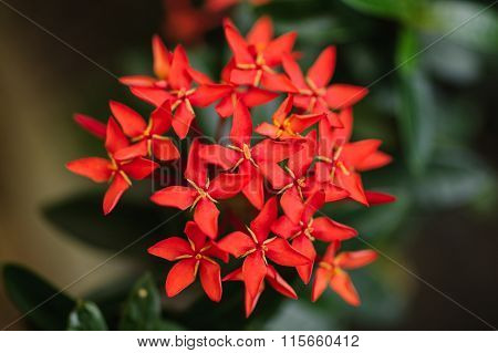 Beautiful Red Small Flowers Rubiaceae