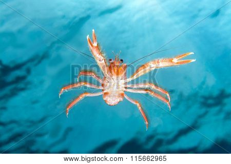 A small tuna crab brought to California by El Nino currents swims in mid water staring at my camera against a blue background of clear water and sunshine.