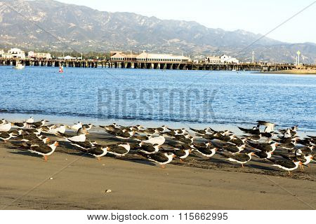 Seabirds huddle along the sandy beach in Santa Barbara's iconic harbor with famous Stearns Wharf lining the horizon