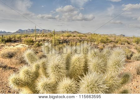 An image of the cholla cactus at Superstition desert in Arizona shows the rugged detail of a dry wilderness