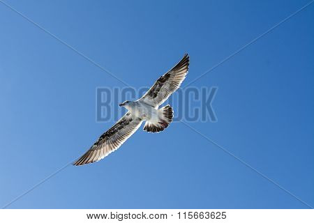 A seagull spreads its wings as it glides effortlessly through a blue sky