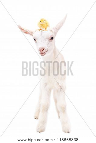 Portrait of a white little goat with a chicken on head