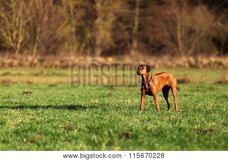 Gundog (Rhodesian Ridgeback)