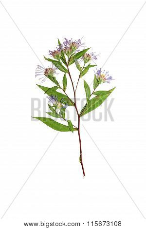 Pressed And Dried Delicate Flower Symphyotrichum Novi-belgii