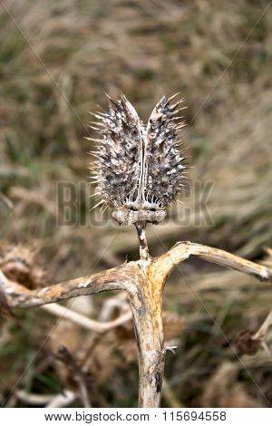 Dry Wilted Burdock Plant