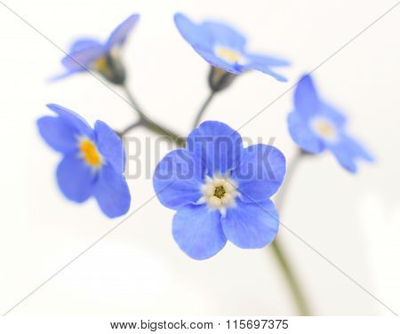 Forget-me-not Victoria Blue Flower Isolated On White
