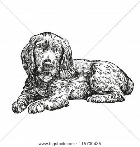dog spaniel hand drawn vector llustration realistic sketch