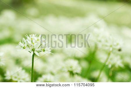 Allium ursinum, Wild garlic.