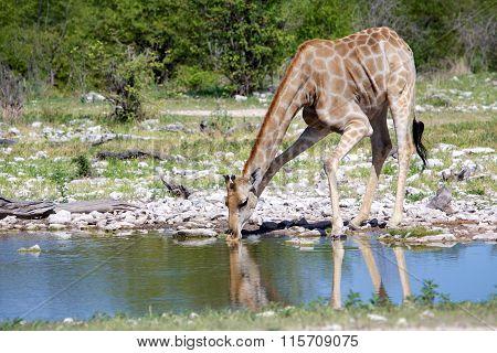 Girafe Drinking At A Waterhole Etosha