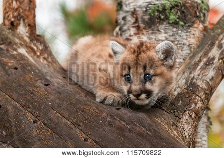 Female Cougar Kitten (puma Concolor) Crouches In Tree
