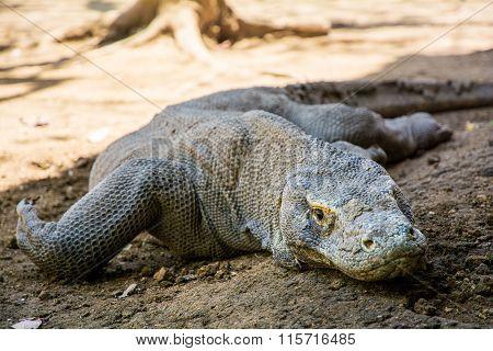 Komodo Dragon Lizard