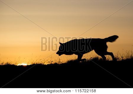 Silhouette of timber wolf at sunrise
