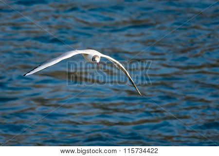 Seagull in flight over the water in the natual park