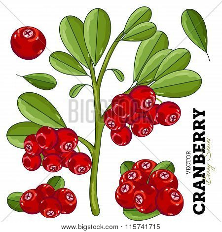 Cranberry with leaves on white background